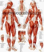 yoga-anatomy-human-body